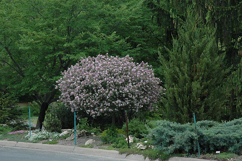 Dwarf Korean Lilac Tree Form Syringa Meyeri Palibin