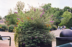 Summer Beauty Butterfly Bush (Buddleia davidii 'Summer Beauty') at Green Glen Nursery