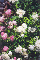 Shirobana Spirea (Spiraea japonica 'Shirobana') at Green Glen Nursery