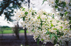 Snowdrift Flowering Crab (Malus 'Snowdrift') at Green Glen Nursery