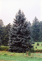 Hoopsii Blue Spruce (Picea pungens 'Hoopsii') at Green Glen Nursery