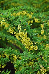 Emerald Carousel Barberry (Berberis 'Tara') at Green Glen Nursery