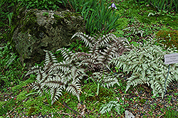 Japanese Painted Fern (Athyrium nipponicum 'Pictum') at Green Glen Nursery