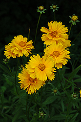 Early Sunrise Tickseed (Coreopsis 'Early Sunrise') at Green Glen Nursery