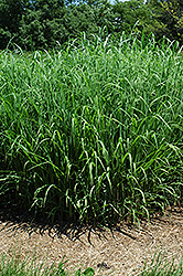 Silver Feather Maiden Grass (Miscanthus sinensis 'Silver Feather') at Green Glen Nursery