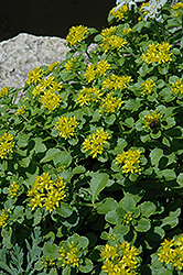 Russian Stonecrop (Sedum kamtschaticum) at Green Glen Nursery