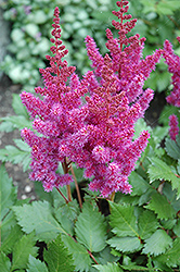 Visions Astilbe (Astilbe chinensis 'Visions') at Green Glen Nursery