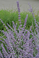 Russian Sage (Perovskia atriplicifolia) at Green Glen Nursery