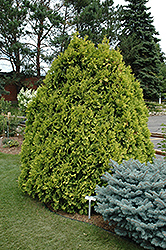 Sunkist Arborvitae (Thuja occidentalis 'Sunkist') at Green Glen Nursery