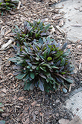 Chocolate Chip Bugleweed (Ajuga reptans 'Chocolate Chip') at Green Glen Nursery