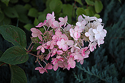 Pink Diamond Hydrangea (Hydrangea paniculata 'Pink Diamond') at Green Glen Nursery