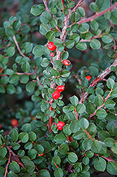 Hesse Cotoneaster (Cotoneaster 'Hessei') at Green Glen Nursery