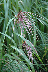 Maiden Grass (Miscanthus sinensis) at Green Glen Nursery