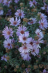 Woods Blue Aster (Aster 'Woods Blue') at Green Glen Nursery