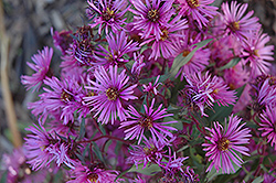 Woods Pink Aster (Aster 'Woods Pink') at Green Glen Nursery