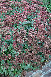 Matrona Stonecrop (Sedum 'Matrona') at Green Glen Nursery