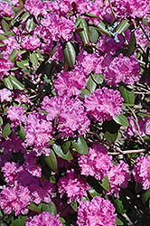 P.J.M. Rhododendron (Rhododendron 'P.J.M.') at Green Glen Nursery