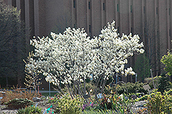 Autumn Brilliance Serviceberry (Amelanchier x grandiflora 'Autumn Brilliance') at Green Glen Nursery