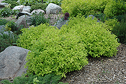 Goldmound Spirea (Spiraea japonica 'Goldmound') at Green Glen Nursery