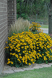 Goldsturm Coneflower (Rudbeckia fulgida 'Goldsturm') at Green Glen Nursery