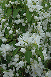Spring Snow Flowering Crab (Malus 'Spring Snow') at Green Glen Nursery