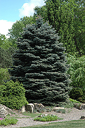 Fat Albert Blue Spruce (Picea pungens 'Fat Albert') at Green Glen Nursery