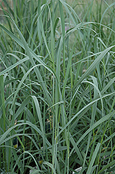 Heavy Metal Blue Switch Grass (Panicum virgatum 'Heavy Metal') at Green Glen Nursery