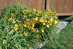 Stella de Oro Daylily (Hemerocallis 'Stella de Oro') at Green Glen Nursery
