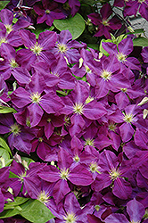 Jackmanii Superba Clematis (Clematis x jackmanii 'Superba') at Green Glen Nursery