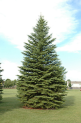 Colorado Spruce (Picea pungens) at Green Glen Nursery