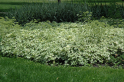 Variegated Bishop's Goutweed (Aegopodium podagraria 'Variegata') at Green Glen Nursery