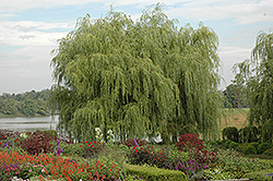 Golden Weeping Willow (Salix alba 'Tristis') at Green Glen Nursery