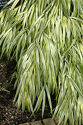 Golden Variegated Hakone Grass (Hakonechloa macra 'Aureola') at Green Glen Nursery