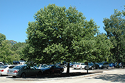 Chicagoland Hackberry (Celtis occidentalis 'Chicagoland') at Green Glen Nursery