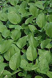 Royal Standard Hosta (Hosta 'Royal Standard') at Green Glen Nursery