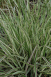 Variegated Reed Grass (Calamagrostis x acutiflora 'Overdam') at Green Glen Nursery
