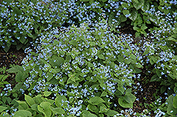 Siberian Bugloss (Brunnera macrophylla) at Green Glen Nursery