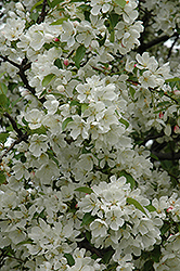 Donald Wyman Flowering Crab (Malus 'Donald Wyman') at Green Glen Nursery