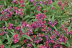 Raspberry Splash Lungwort (Pulmonaria 'Raspberry Splash') at Green Glen Nursery