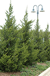 Fairview Juniper (Juniperus chinensis 'Fairview') at Green Glen Nursery