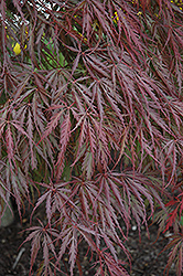 Tamukeyama Japanese Maple (Acer palmatum 'Tamukeyama') at Green Glen Nursery