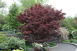 Bloodgood Japanese Maple (Acer palmatum 'Bloodgood') at Green Glen Nursery