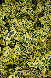 Emerald 'n' Gold Wintercreeper (Euonymus fortunei 'Emerald 'n' Gold') at Green Glen Nursery
