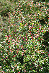 Cranberry Cotoneaster (Cotoneaster apiculatus) at Green Glen Nursery