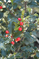 Berri-Magic Kids Meserve Holly (Ilex x meserveae 'Berri-Magic Kids') at Green Glen Nursery
