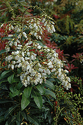 Mountain Fire Japanese Pieris (Pieris japonica 'Mountain Fire') at Green Glen Nursery