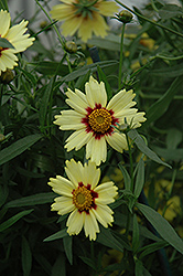 Red Shift Tickseed (Coreopsis 'Red Shift') at Green Glen Nursery