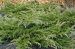 Calgary Carpet Juniper (Juniperus sabina 'Calgary Carpet') at Green Glen Nursery