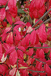 Fire Ball® Burning Bush (Euonymus alatus 'Select') at Green Glen Nursery