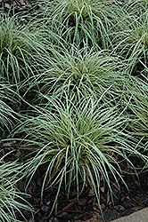 Evergold Variegated Japanese Sedge (Carex oshimensis 'Evergold') at Green Glen Nursery